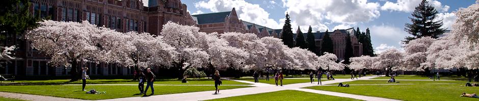 Cherry trees on UW campus